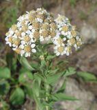 Achillea salicifolia
