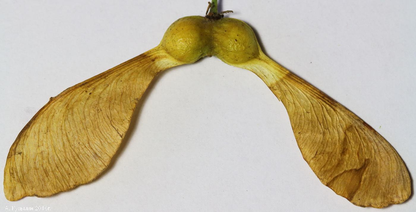 Плоды клена и ясеня картинки