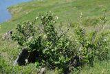 Cotoneaster melanocarpus