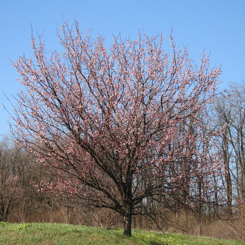 Абрикос обыкновенный (Armeniaca vulgaris)