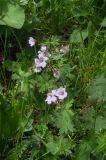 Geranium albiflorum