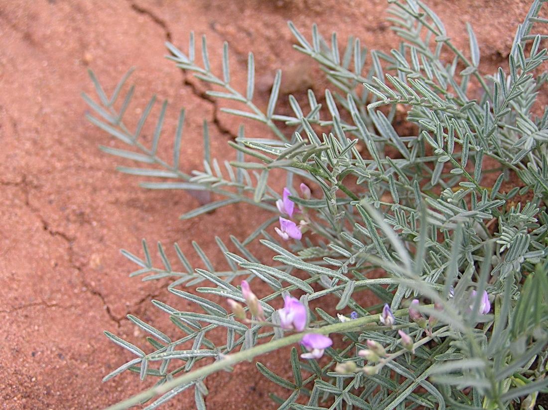 Изображение растения Astragalus scoparius.