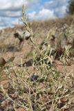 Corispermum leptopterum