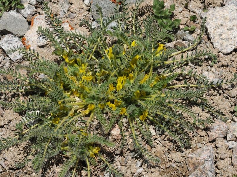 Изображение растения Astragalus lithophilus.