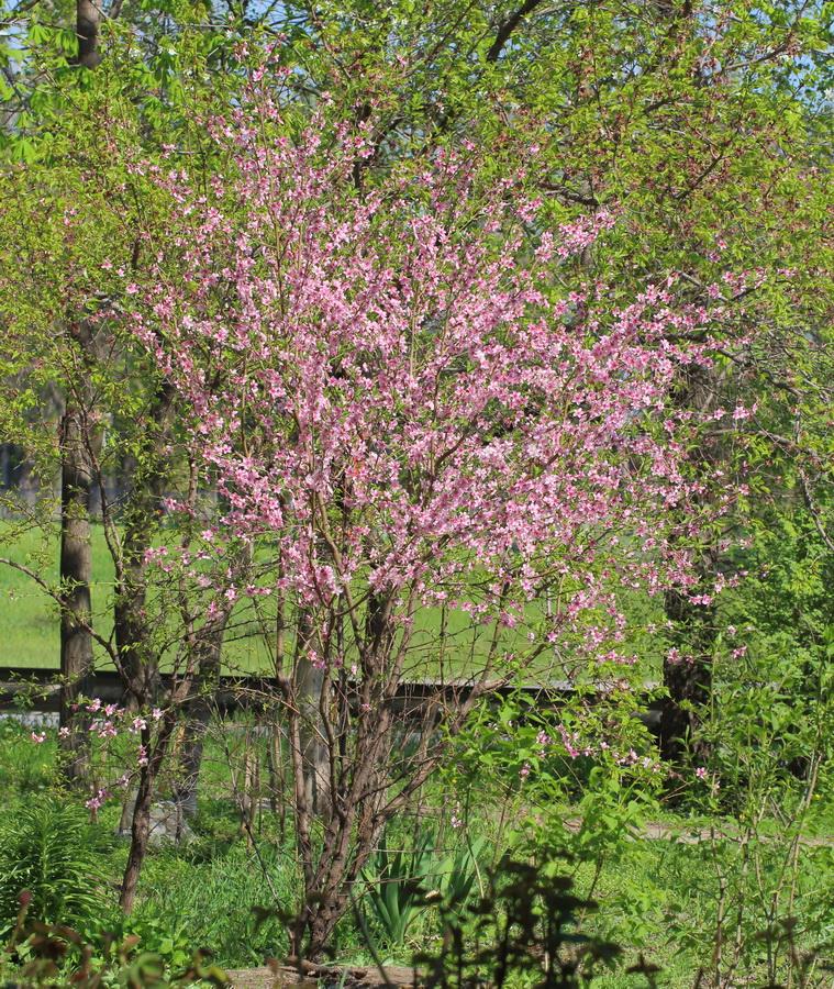 Персик обыкновенный (Persica vulgaris)