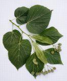 Tilia cordifolia