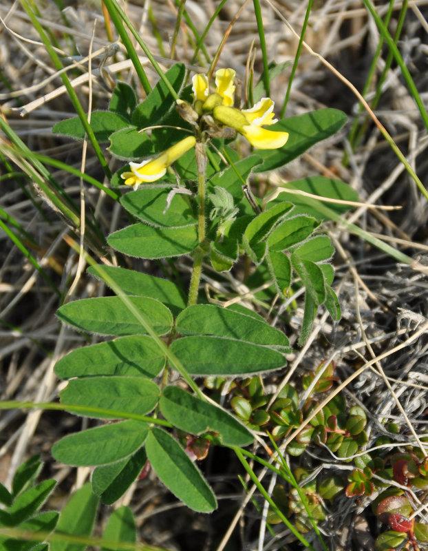 Изображение растения Astragalus umbellatus.