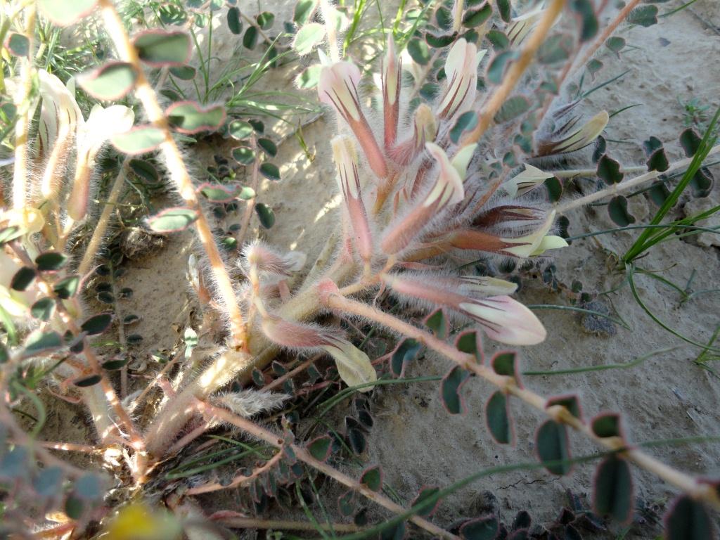 Изображение растения Astragalus rubromarginatus.