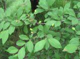 Prunus cerasifera ssp. caspica
