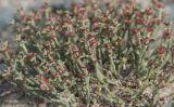 Anabasis truncata