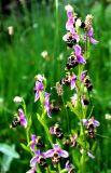 Ophrys kopetdagensis