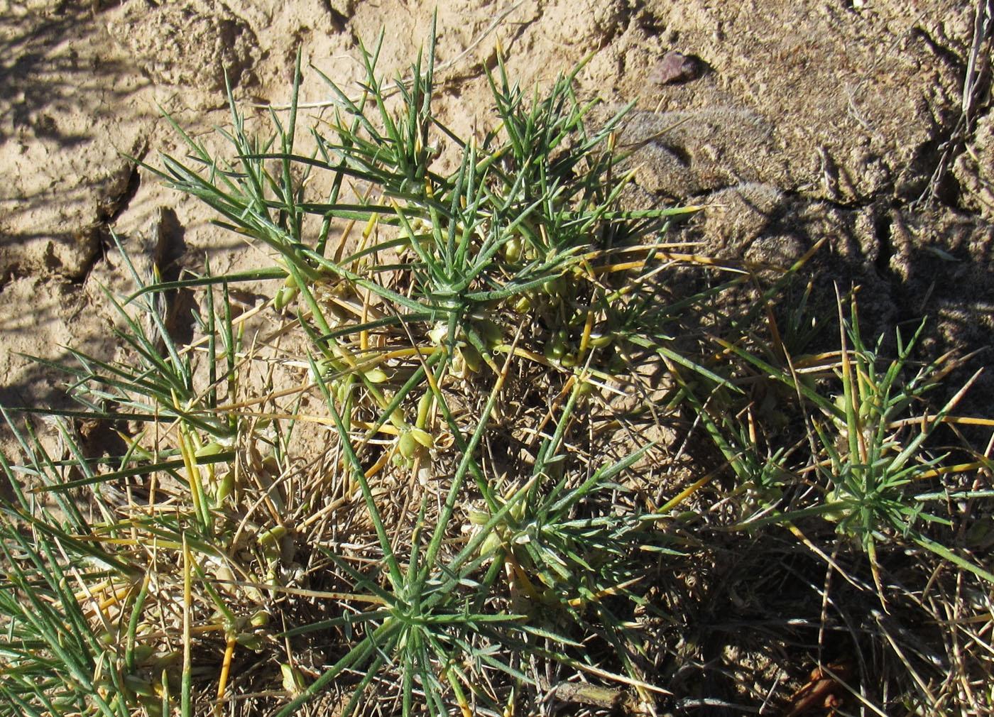 Изображение растения Astragalus unijugus.