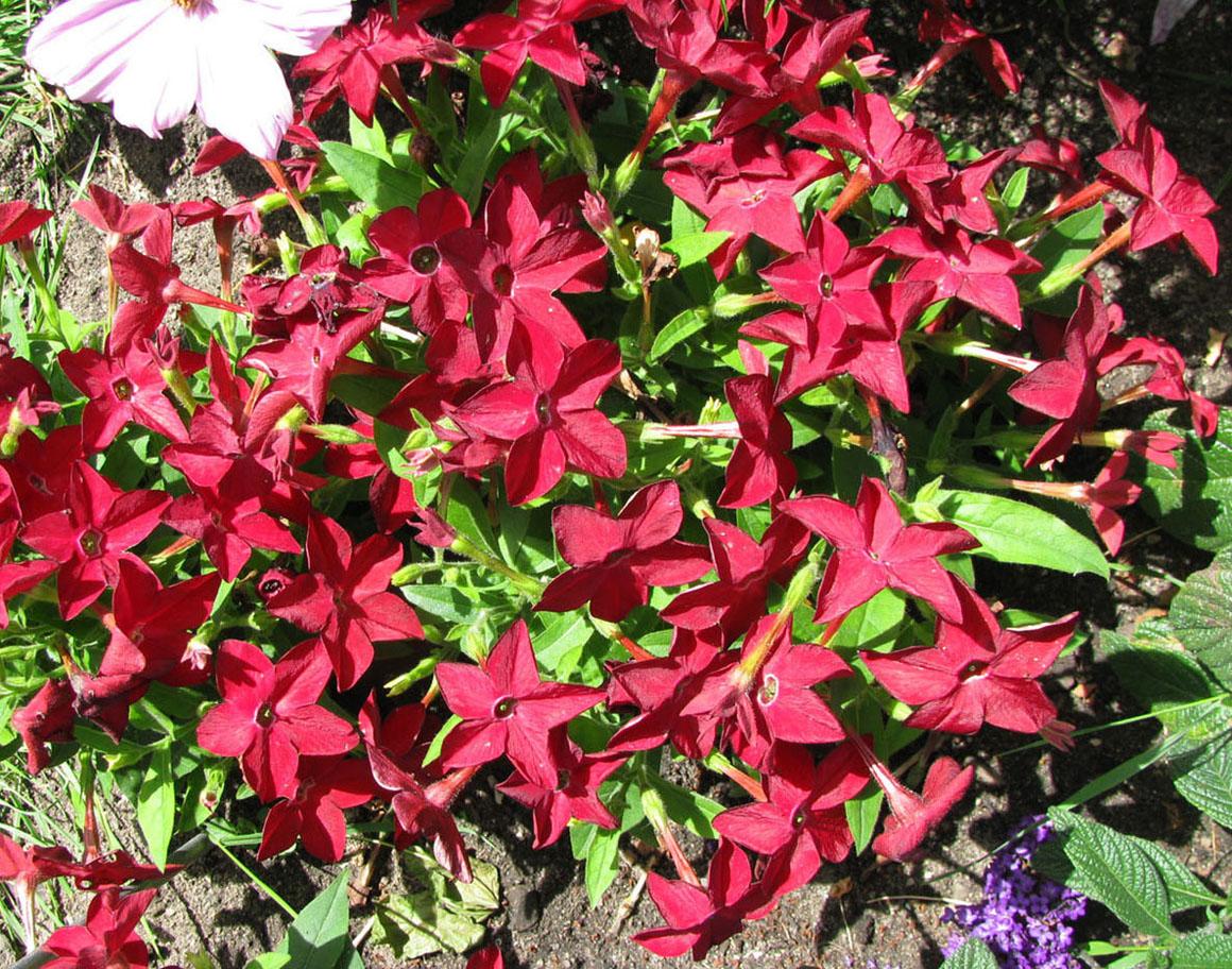 Цветы перилла посадка и уход фото