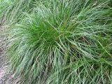 Carex contigua