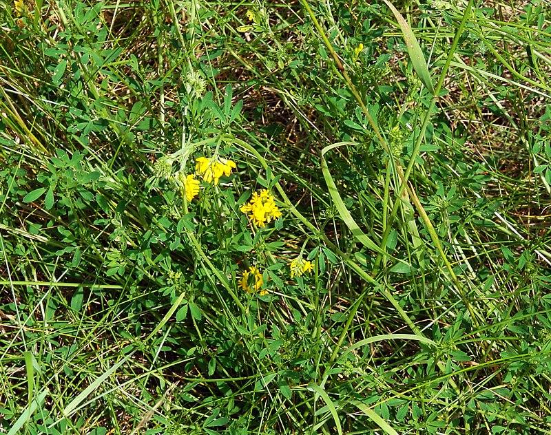 Люцерна фото растения