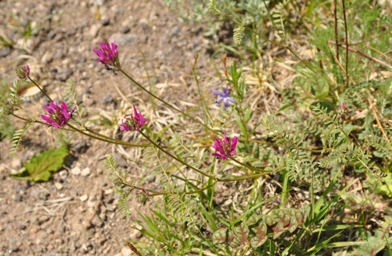 Изображение растения Astragalus sevangensis.