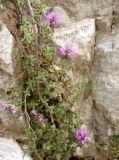 Thymus zheguliensis