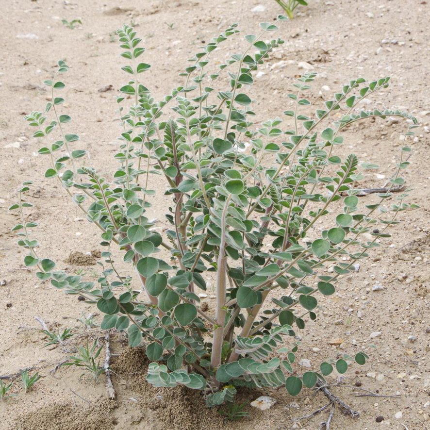 Изображение растения Astragalus lehmannianus.