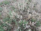Kalidium foliatum