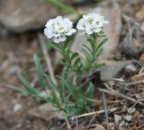 Ptilotrichum tenuifolium