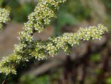 Spiraea hypericifolia