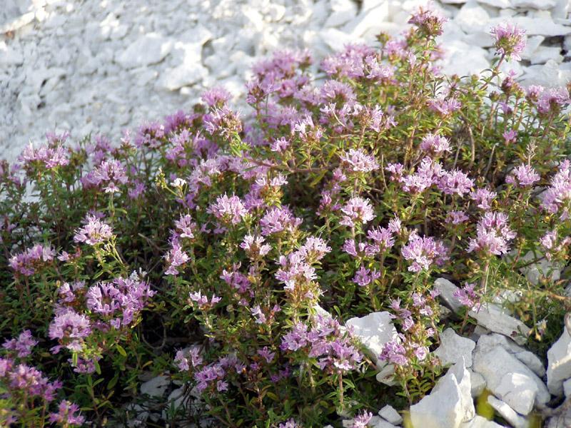 Тимьян меловой - Thymus calcareus - Изображение растения - Плантариум