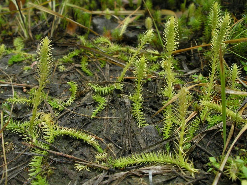 Плаунок заливаемый (Lycopodiella inundata)