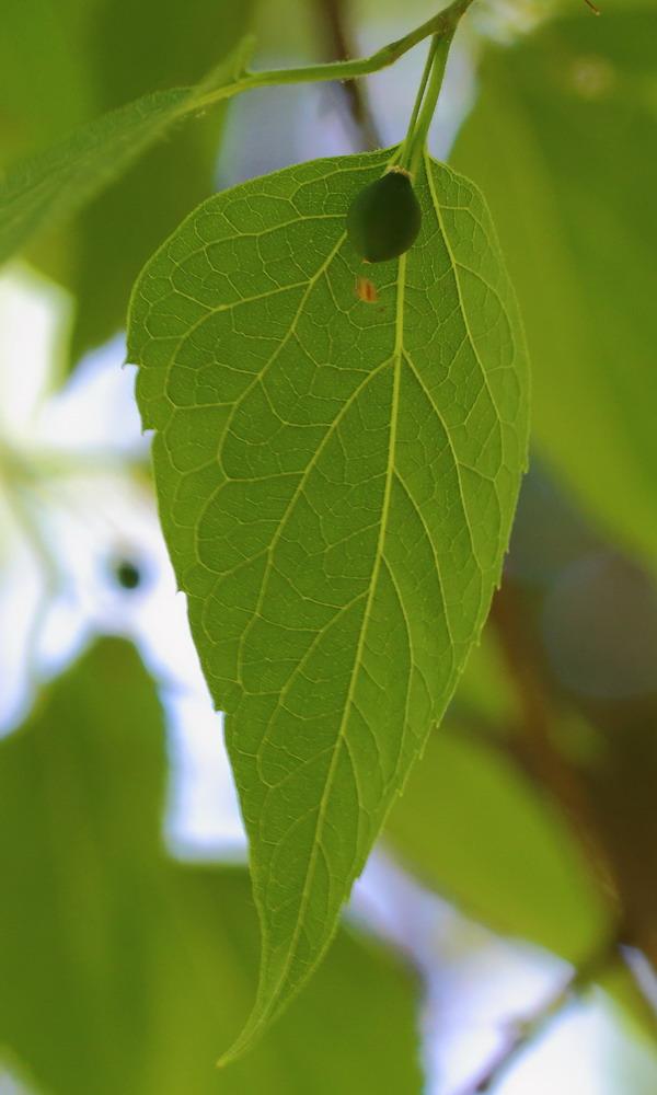 Каркас западный (Celtis occidentalis)