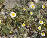 Tripleurospermum