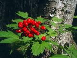 Actaea erythrocarpa