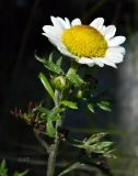 Asteraceae