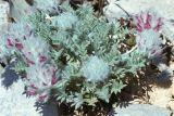 Oxytropis trichocalycina