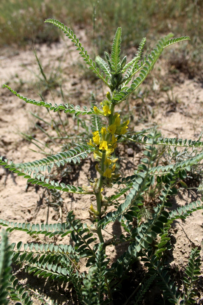 Изображение растения Astragalus basineri.