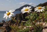 Chrysanthemum coreanum