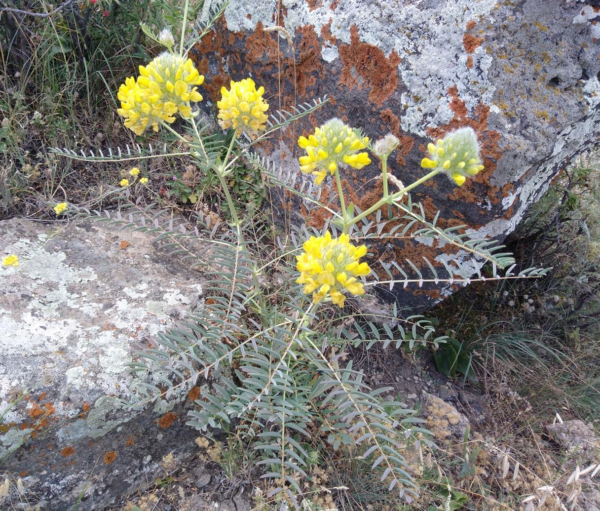 Изображение растения Astragalus finitimus.