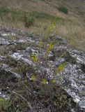 Orthanthella lutea