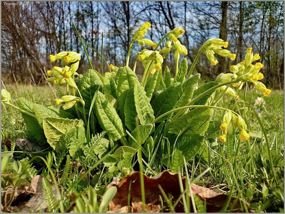 Первоцвет крупночашечный (Primula macrocalyx). Автор фото: Сергей Апполонов