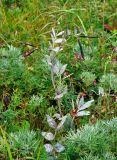 Lathyrus pisiformis