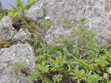 Oxytropis mandshurica