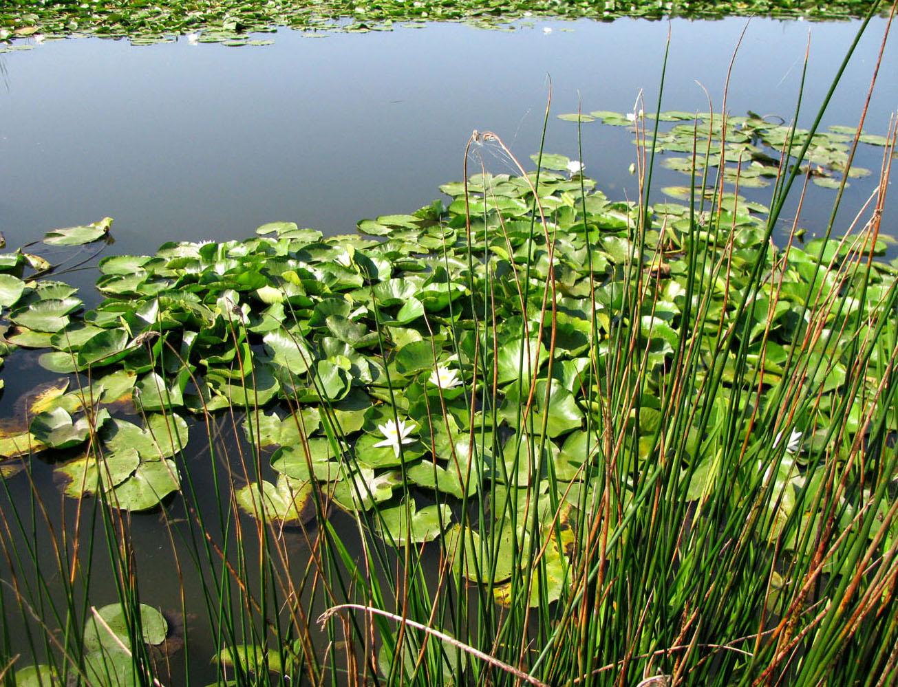 прибрежные растения с картинками этот сюжет