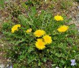 Taraxacum holmboei