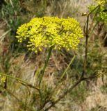Peucedanum tauricum
