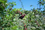 Cotoneaster meyeri