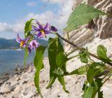 Solanum persicum