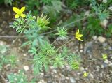 Leptopyrum fumarioides