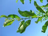 Salix calodendron