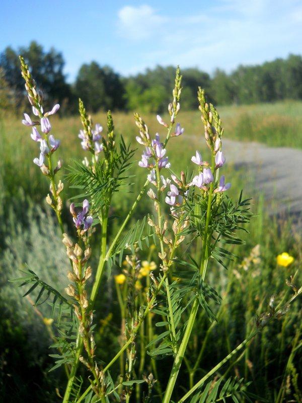 Изображение растения Astragalus sulcatus.