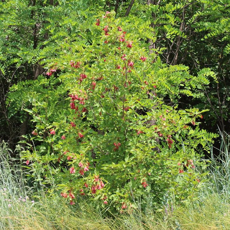 Клён татарский (Acer tataricum)