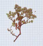 Polycarpon succulentum