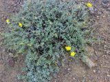 Helianthemum songaricum